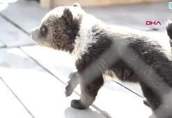 Polisi şaşkına çeviren ihbar Otelde yavru ayılar var