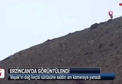 Vaşak'ın dağ keçisi sürüsüne saldırı anı kameraya yansıdı