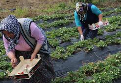 Karadenizde çilek hasadına başlandı