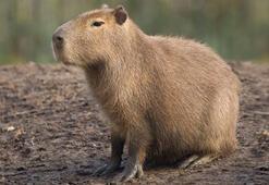 Kapibara, nasıl bir kemirgen türüdür 2 Mayıs ipucu sorusu