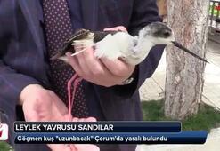 Göçmen kuş uzunbacak Çorumda yaralı bulundu