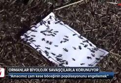 Ormanlar biyolojik savaşçılarla korunuyor