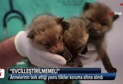 Annelerinin terk ettiği yavru tilkiler koruma altına alındı