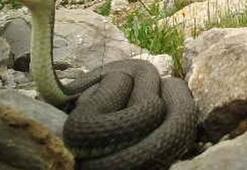 Güneydoğuda dev yılan görüntülendi
