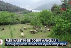 Bu koyunlar fabrika gibi doğum yapıyorlar
