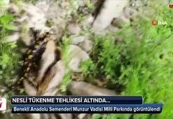 Benekli Anadolu Semenderi Munzur Vadisi Milli Parkında görüntülendi