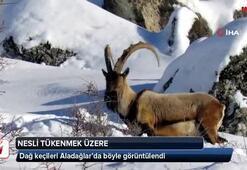 Nesli tükenme tehlikesinde olan dağ keçileri böyle görüntülendi
