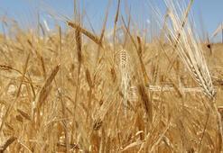 Adanada üretilen sezonun ilk buğdayı Gaziantepte satıldı