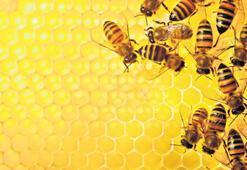 Arı ömrü boyunca 1 gr bal yapıyor