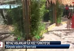 Beyaz aslanlar ilk kez Türkiye'de