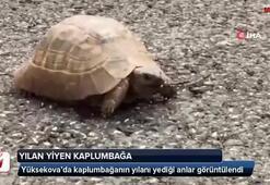 Yılan yiyen kaplumbağa böyle görüntülendi