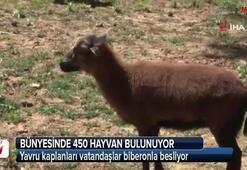 İstanbulun göbeğindeki yavru aslanlar ve kaplanlara yoğun ilgi