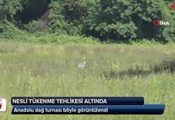 Nesli tükenme tehlikesi altındaki Anadolu dağ turnası görüntülendi