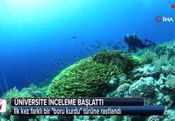 İzmir Körfezinde boru kurdu