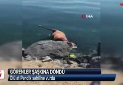 Pendik sahiline vuran ölü at görenleri şaşkına çevirdi