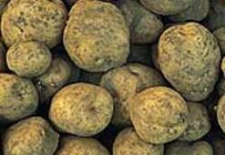 Bütün patatesler aynı kökenden