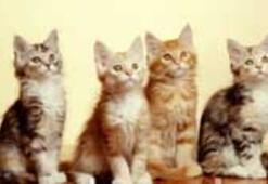 Bu kediler alerji yapmayacak