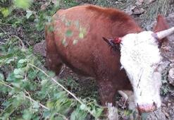 Rüzgar ve fırtınadan korkan inekler uçuruma düştü Bir tek o sağ kaldı