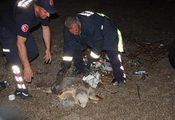 Caretta Caretta köpeklerin saldırısına uğradı