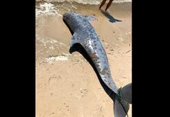 261 yunus kıyıya vurdu