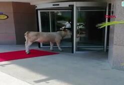 Sinopta otele girmeye çalışan inek gülümsetti