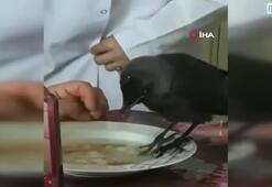 Kurtarılan yavru karga yemek sofrasına misafir oldu