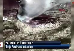Boğa Ferdinand baba oldu