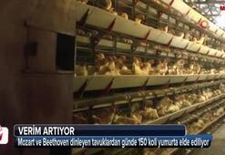 Tavukların Mozart ve Beethoven hayranlığı