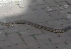 Yolda, evde yılan görürseniz sakın endişeye kapılmayın Zehirsizler