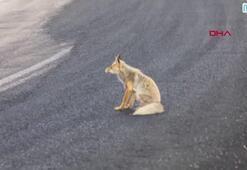 Yolda oturup araçları seyretti