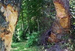 Gören isyan etti Ağaçları bu hale getirdiler