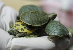Havalimanında binlerce kaplumbağa ele geçirildi