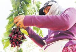 Mevsimlik işçi hasat yolunda