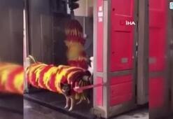 Köpeğin fırçalı serinliği