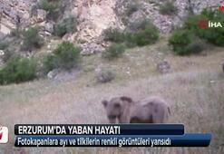 Erzurum'da yaban hayatı fotokapana yansıdı