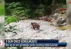 Boz ayı ölü olarak bulundu