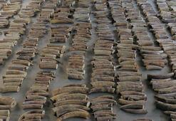 Tonlarca kaçak fil dişi ve pangolin pulu ele geçirildi