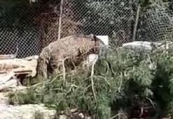 Bolu'da foseptiğe düşen ayı kurtarıldı
