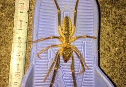 Vatandaşları tedirgin eden ölümcül örümcek ortaya çıktı