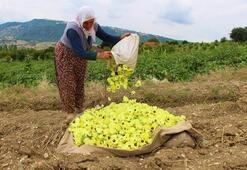 Amasya'nın tescilli çeyrek altın'ı: Çiçek Bamyası