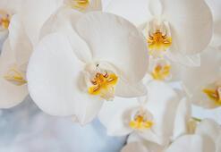 Evde orkide bakmanın püf noktaları