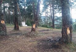 Tepki çeken olay Ağaçlardaki görüntü şaşırttı