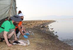 Yavru flamingolar için 87 gönüllü gece saat 03.00te mesai yaptı