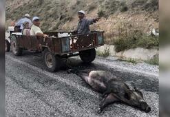 Domuzu tüfekle öldürüp sürüklediler