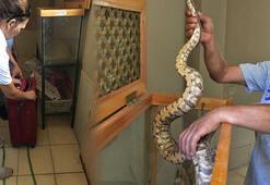 Otobüsle 2 metrelik yılan taşımışlar