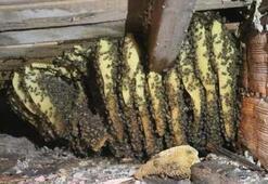 Arıların çatıya yaptığı petekten 15 kilogram bal aldı