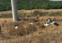 Tekirdağ'da toplu leylek ölümleri