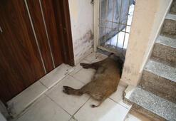 Kent merkezine getirilen domuz görenleri korkuttu