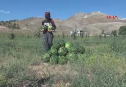 Sivasta, 150 ton karpuz hasadı yapıldı