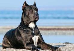 Köpekler neden saldırganlaşır